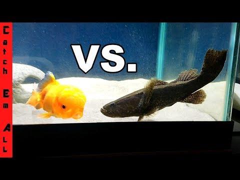 NINJA FISH Vs GOLDFISH!