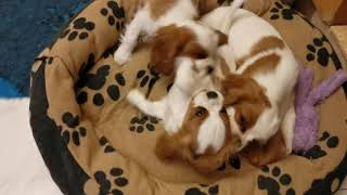Nelly the 11 weeks old Cavalier King Charles Spaniel puppy