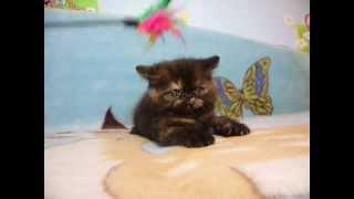 Exotic cattery Fayna Kisya