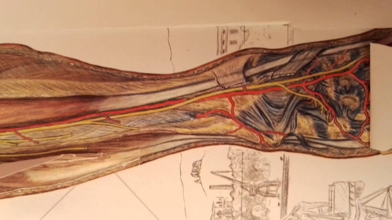 Arterias y venas, región anterior de la pierna - YouTube