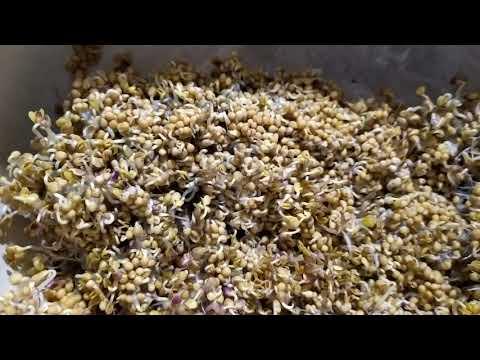 Проростки горчицы четырёхдневные