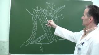 видео Анатомия шеи: позвонки, мышцы, сосуды