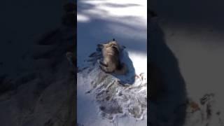ショベル(ノルウェジアン・エルク・ハウンド)は、雪が大好き!少ない雪...
