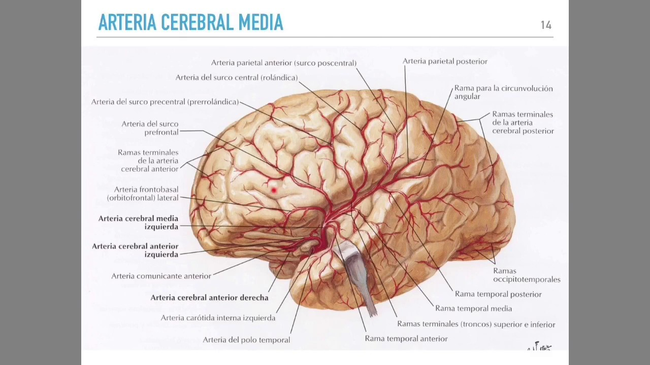 Irrigación cerebral - YouTube