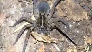 Wolf Spider Eating Yes Another One