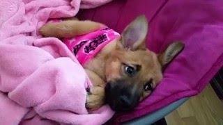 Meet Sophia (German Shepherd/Shiba Inu mix)