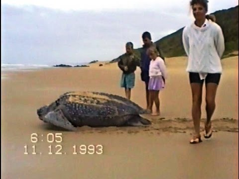 Leatherback Turtle (Best footage EVER recorded on beach in daylight). Very rare!