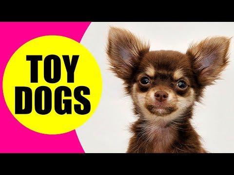 TOY DOG BREEDS - List of Smallest Dog Breeds in the World