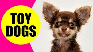 TOY DOG BREEDS  List of Smallest Dog Breeds in the World