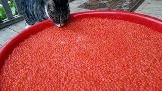 русские помидоры