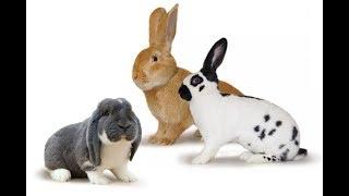 Новая порода кроликов. Какую породу лучше выбрать?