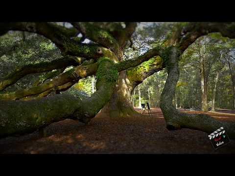 Amazing wow 1,500 year old Angel Oak tree in South Carolina 4K HD
