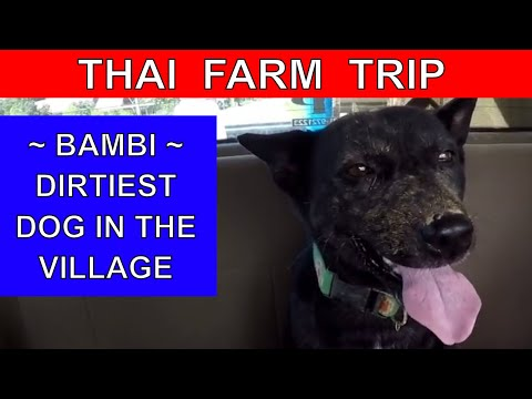 WORKING ON OUR THAI FARM Thailand Farming RURAL LIFE Thailan