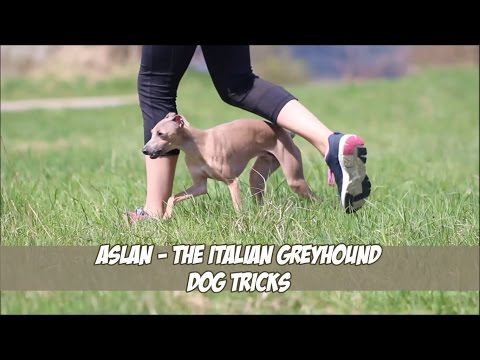 Aslan the Italian greyhound - Dog tricks
