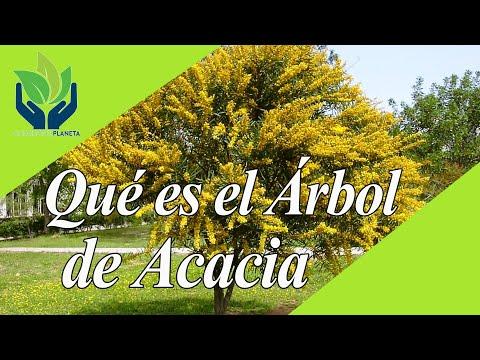 Acacia: todo lo que necesitas saber sobre estos árboles