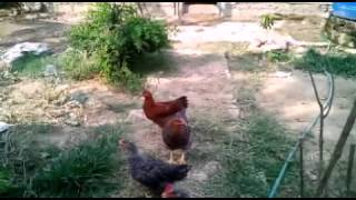 Biggest-traditional-chicken-farming-nepal