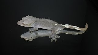 """Axanthic """"grey"""" crested gecko project announcment!!"""
