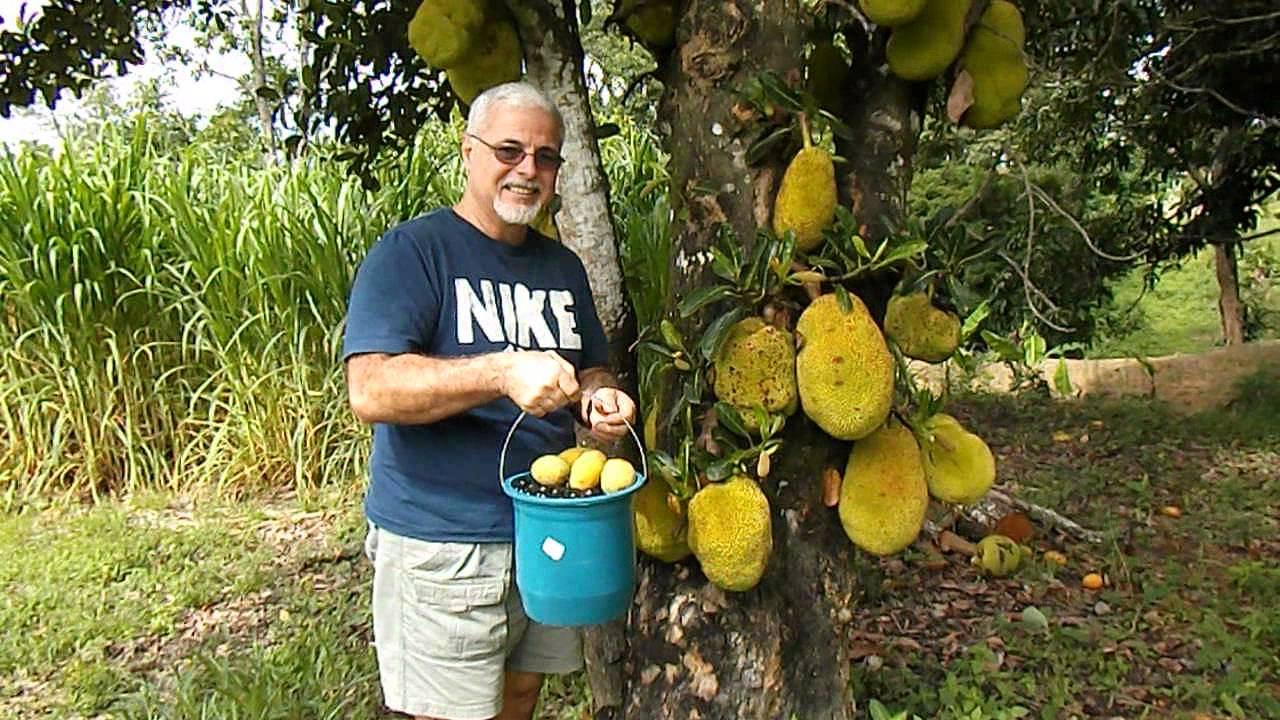 how to make juice from jaboticaba tree