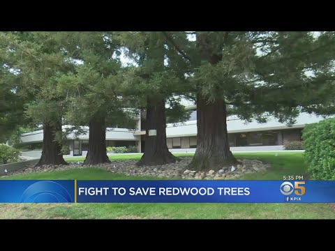 Menlo Park City Council Votes On Redwood Tree Removal