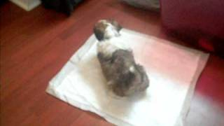 Shih Tzu 1 week potty trained