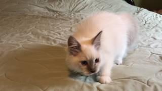 Ragdoll - Охота за солнечным зайчиком - котенок играет - рэгдолл