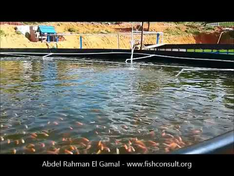Culture of red tilapia in a biofloc system in Colombia