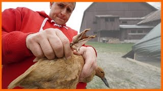 Duck Bumblefoot Surgery (First Time)
