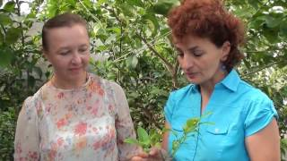 видео Как вырастить крупноцветковые хризантемы. Сайт