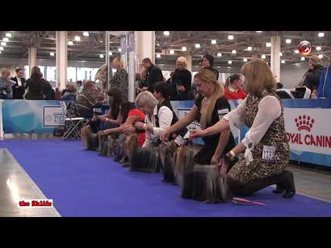International Dog Show RUSSIA 2017, Yorkshire Terriers