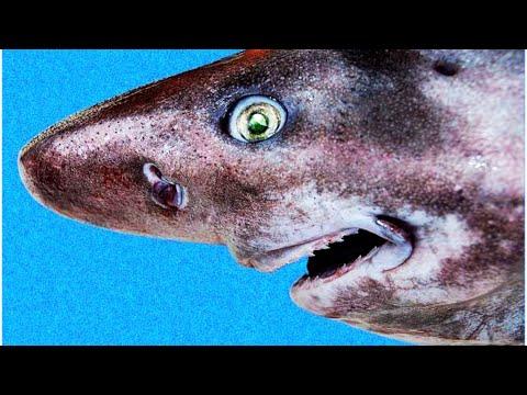 Prickly Shark - Deepsea Oddities