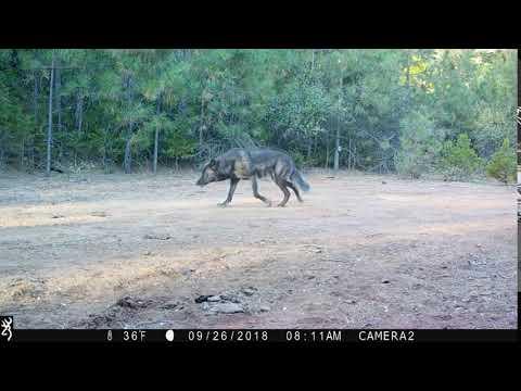 black wolf youtube black wolf youtube