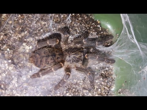 Baboon Spider Care Video