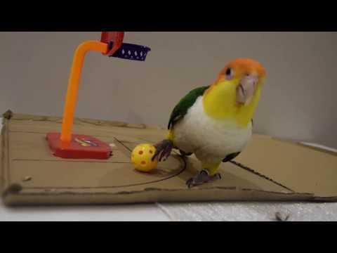 Papuga gra w kosza/ Basketball Caique Parrot