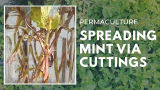 Permaculture | HOW TO GROW MINT (PUDINA)