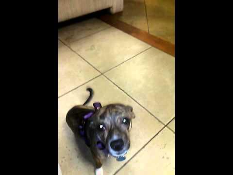 Singing Dog: Nano