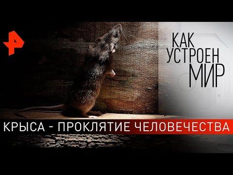 Крыса - проклятие человечества. \