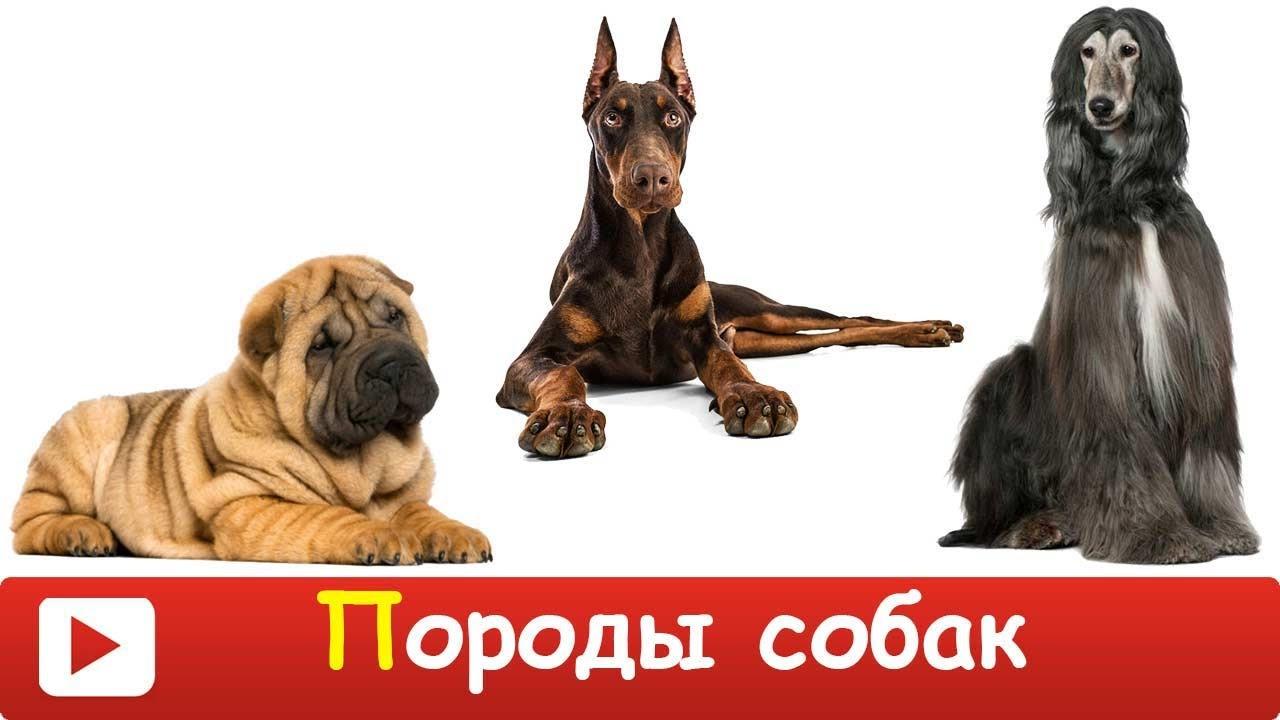 [ ПОРОДЫ СОБАК для ДЕТЕЙ ] Развивающий МУЛЬТИК для ДЕТЕЙ - ТОП 10 пород собак. Презентация для детей