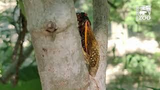 Talking Cicadas   Cincinnati Zoo