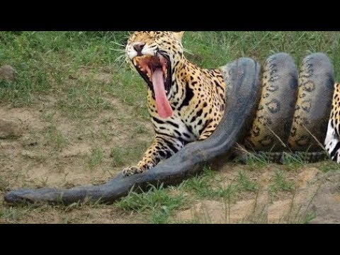 Jaguar Kill The Anaconda ▻▻ Jaguar Eating The Anaconda ▻▻ Anaconda Vs Jaguar  Vs Leopard