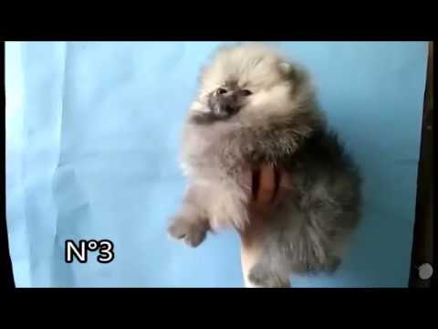 Pomeranian puppy for sale 20042017