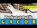 Perkutut Putih Gacor Suara Burung Perkutut Putih  Mp3 - Mp4 Download