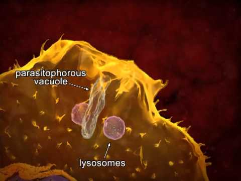 Animated life cycle of T. cruzi in the human host.