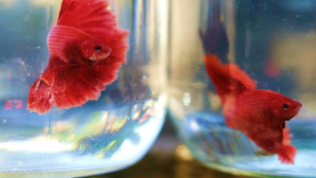Peces betta super red ya estan grande 5 youtube for Criadero de peces goldfish