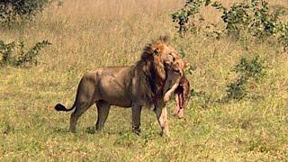 Niech żyje król - Lwy z Sabi Sand - Discovery Channel