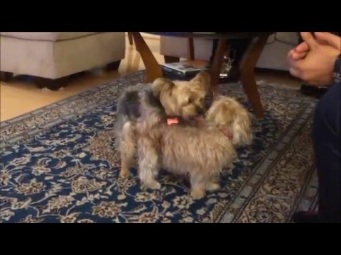 Yorkie says 'Hi' to a new friend