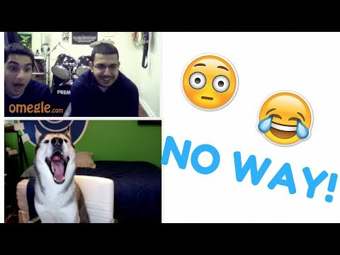 Husky Goes on Omegle 2! (Hilarious Reactions)