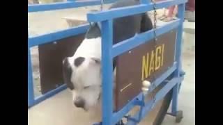 pitbull Dog New practice in punjab
