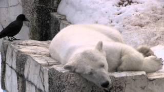 円山動物園のホッキョクグマ、ララ(メス/17歳)。 昼寝をしていたララの...
