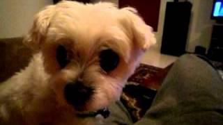Maltese Terrier Including Breeders List