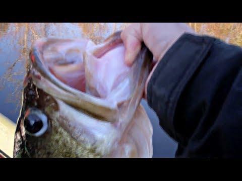17 Lb Bass Caught On A Goldfish (Update)